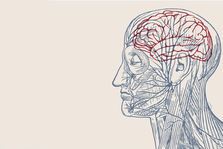 Illustration of human head anatomy with brain